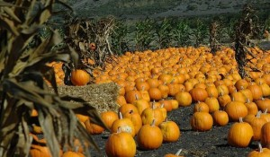 pumpkin_patch_large